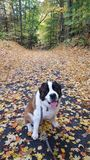 Cute St. Bernard Sitting On Path stock images