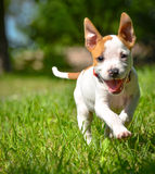 Cute Stafford puppy running on field Stock Photography