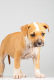 Cute Stafford terrier puppy standing Royalty Free Stock Photography