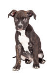 Cute Staffordshire Bull Terrier Crossbreed Puppy Sitting Royalty Free Stock Photography