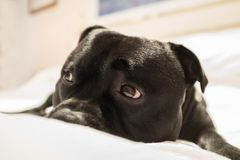 Cute staffordshire bull terrier dog. Lying on a white bed with raised eye brows and showing the white of his eye. He looks a little bit sorry, sad or guilty Royalty Free Stock Photo