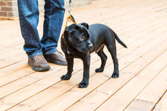 Cute Staffordshire Bull Terrier puppy standing on a leash Stock Photography