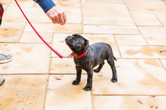 Cute Staffordshire Bull Terrier puppy training on a red leash. Stock Photography