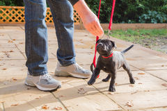 Cute Staffordshire Bull Terrier puppy training on a red leash. A cute black Staffordshire bull terrier puppy with a red collar and red leash, standing on three royalty free stock image