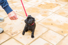 Cute Staffordshire Bull Terrier puppy training on a red leash. Stock Image