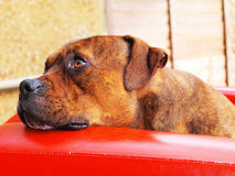 Cute staffy dog Royalty Free Stock Images