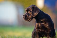 Cute standard schnauzer puppy Stock Photos