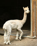 Cute Standing Alpaca Stock Images