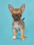 Cute standing chihuahua puppy on a blue background Royalty Free Stock Image