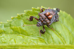 A cute stinkbug. Although,a stinkbug will produce Stock Images