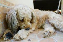 Cute stray dog lying. By doorsteps Royalty Free Stock Photos