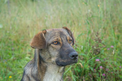 Cute Stray Dog. Portrait of a cute brown stray dog Stock Images