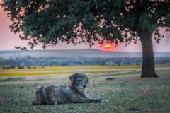Cute stray dog watching a beautiful sunset near a big oak tree. Dobrogea, Romania royalty free stock photos
