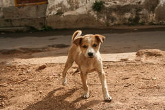 Cute stray puppy in streets of india Royalty Free Stock Image