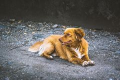 Cute street dog, Canis Lupus Familiaris. A small cute street dog rests in the shade stock photo