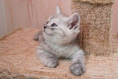 Beautiful British gray white kitten lying on cat house and looking up Royalty Free Stock Photo