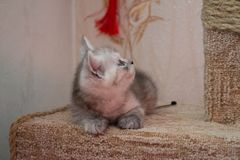 Beautiful British gray white kitten lying on cat house and looking up Royalty Free Stock Photos
