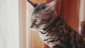 Cute striped cat at home. Close up stock video footage
