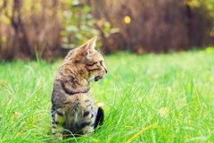 Cute gray cat sits on the grass. Cute striped cat sits on the green lawn stock photos