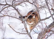 Striped cat sits high on a tree branch in the spring garden and looks down. Cute striped cat sits high on a tree branch in the spring garden and looks down royalty free stock images