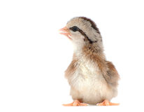 Cute striped Easter chick Stock Photo