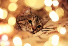 Cute striped kitten lying and looking dreamily surrounded by festive Golden glitter and lights. Striped kitten lying and looking dreamily surrounded by festive stock photography