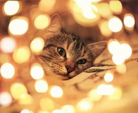 Striped kitten lying and looking surrounded by festive Golden glitter and lights. Cute striped kitten lying and looking surrounded by festive Golden glitter and royalty free stock photos