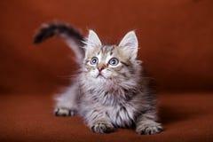 Cute striped kitten Royalty Free Stock Image