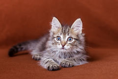 Cute striped kitten Royalty Free Stock Photography