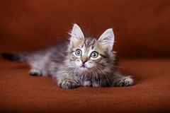 Cute striped kitten Royalty Free Stock Images