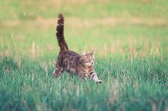 Striped kitten runs merrily through the spring meadow with its. Cute striped kitten runs merrily through the spring meadow with its tail and paws up Stock Photo