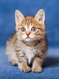 Cute striped kitten Royalty Free Stock Photo