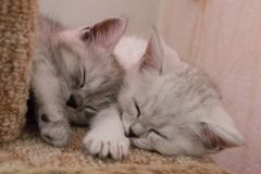 Cute Striped Kittens Sleep On My Side On Cat House Stock Photo