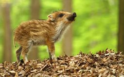 Cute striped piglet Royalty Free Stock Photos