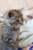 Cute striped scottish kitten Stock Image
