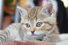 Cute striped scottish kitten Royalty Free Stock Images