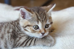 Cute striped scottish kitten Royalty Free Stock Photos