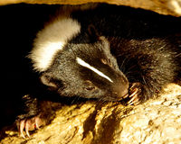 Cute Striped Skunk 2. Cute Striped Skunk Licking its Paw Stock Photography