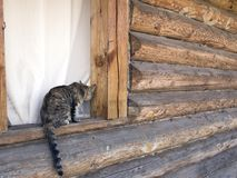 Cute striped tabby cat tries to climb into the window royalty free stock images