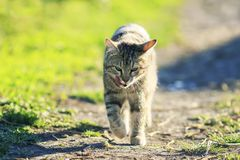 Cute striped young cat walking on a green meadow on a spring Sunny day funny sticking out his tongue stock photography