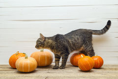 Cute stripes cat and pumpkin on a wooden table on a background o Stock Images