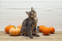 Cute stripes cat and pumpkin on a wooden table on a background o Royalty Free Stock Image