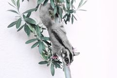 Cute sugar glider on branch   light background Royalty Free Stock Image