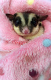 Cute sugar glider in her blanket Royalty Free Stock Photos