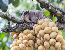 Cute Sugar Glider holding on the bunch Lansium domesticum tree i Royalty Free Stock Image