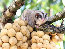 Cute Sugar Glider holding on the bunch Lansium domesticum tree i Stock Images