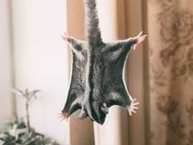 Cute sugar glider. At home stock photography