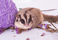 Cute sugar glider lay on the white table royalty free stock image