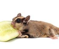 Cute sugar glider - Petaurus breviceps eating cucumber Stock Image