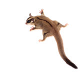 Cute sugar glider - Petaurus breviceps. On white background stock photography